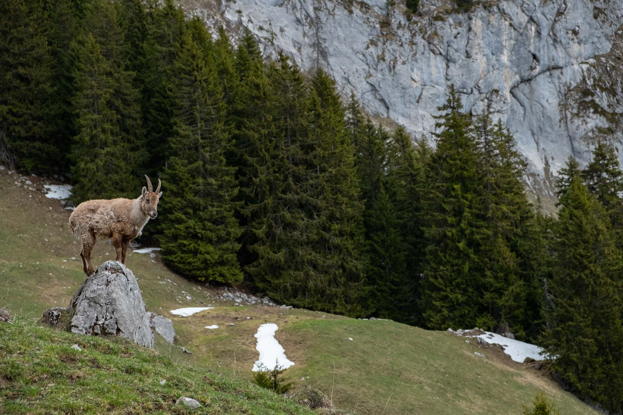 Chamois in The Alps