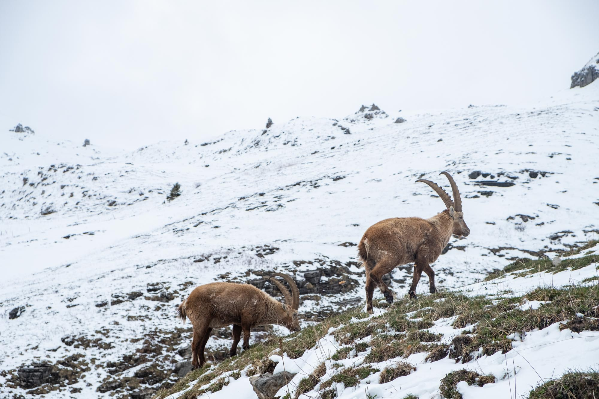Ibex in The Alps