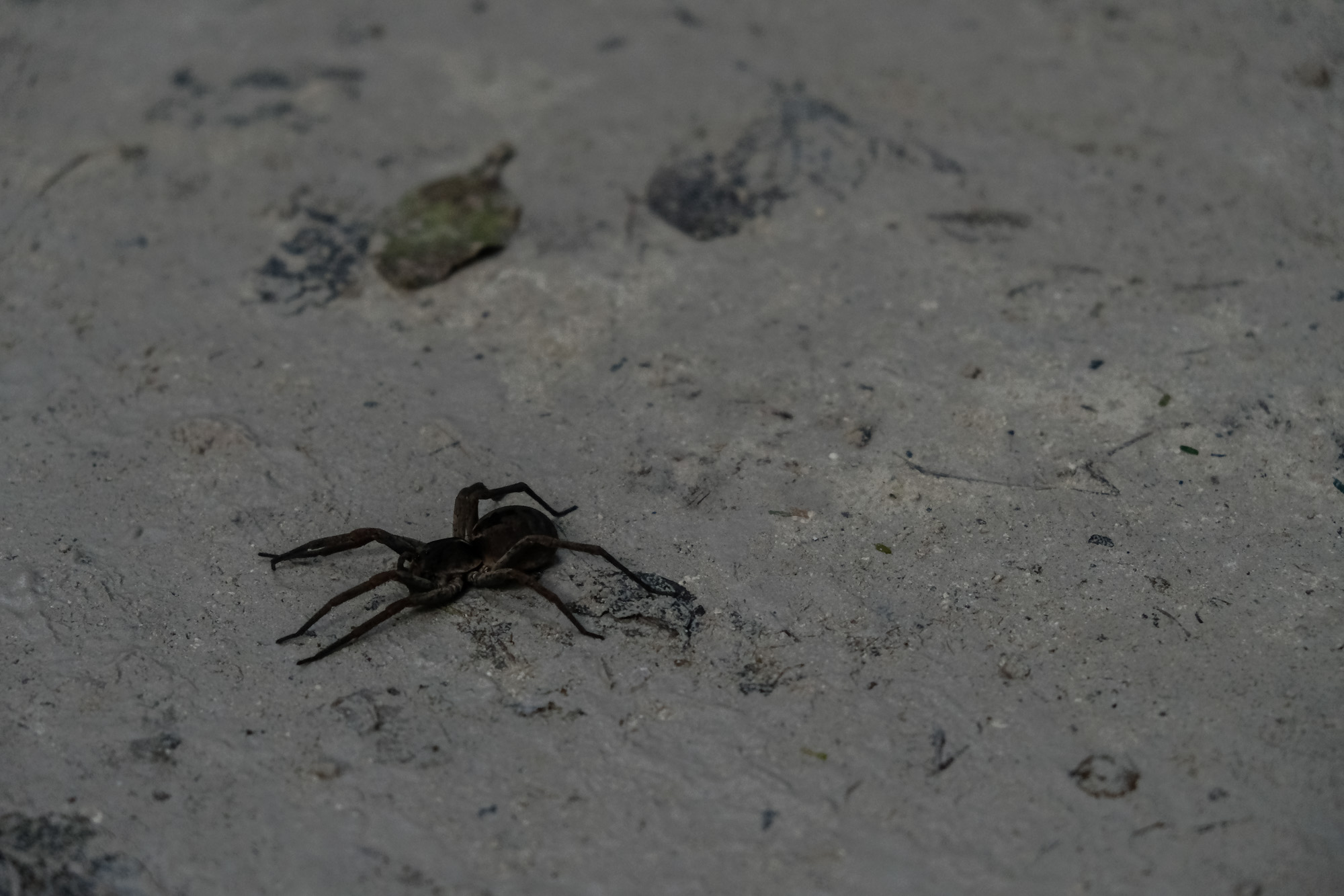 ginormous spider guatemala