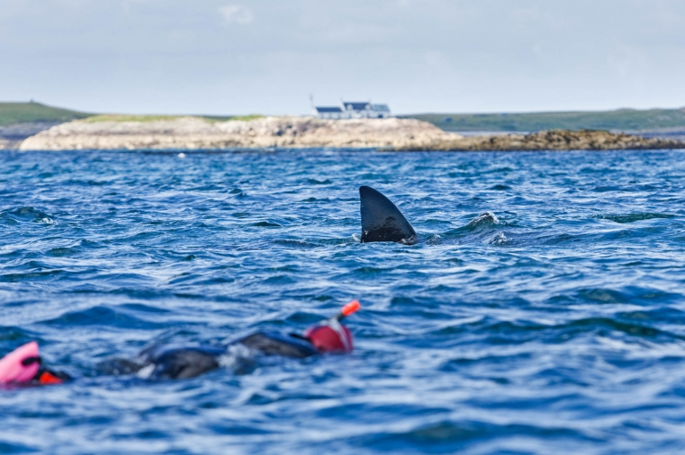 Swimming basking sharks Scotland