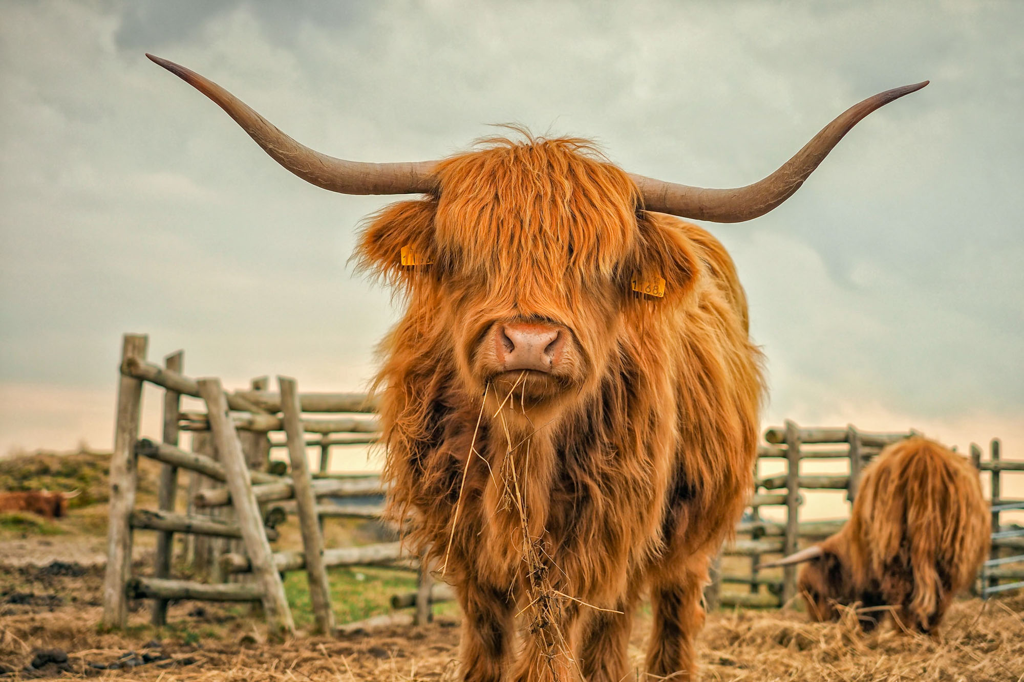Isles Of Scotland Highland Cow