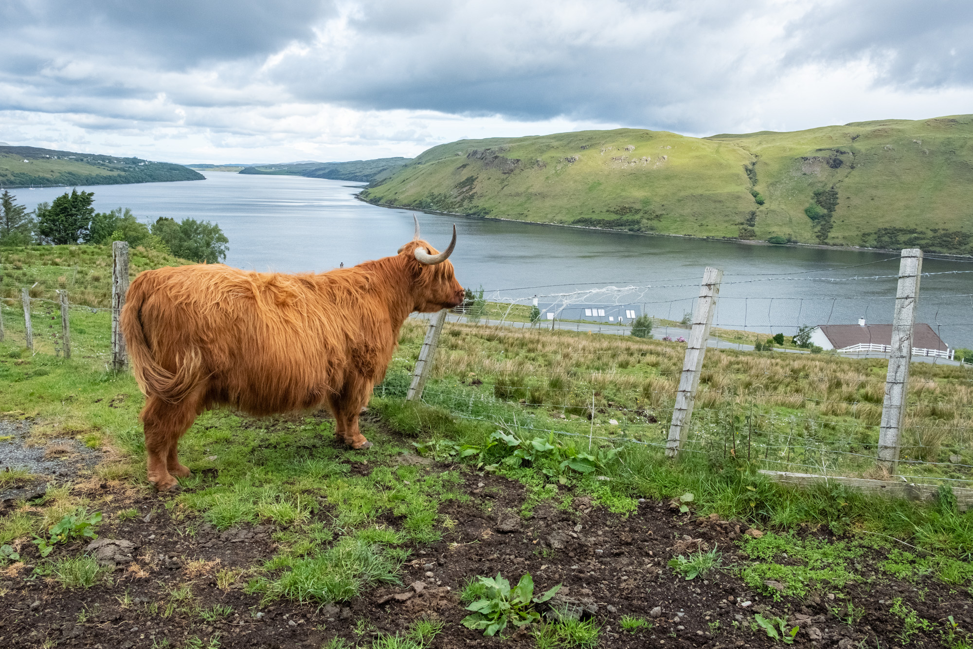 The Highlands + a Cow