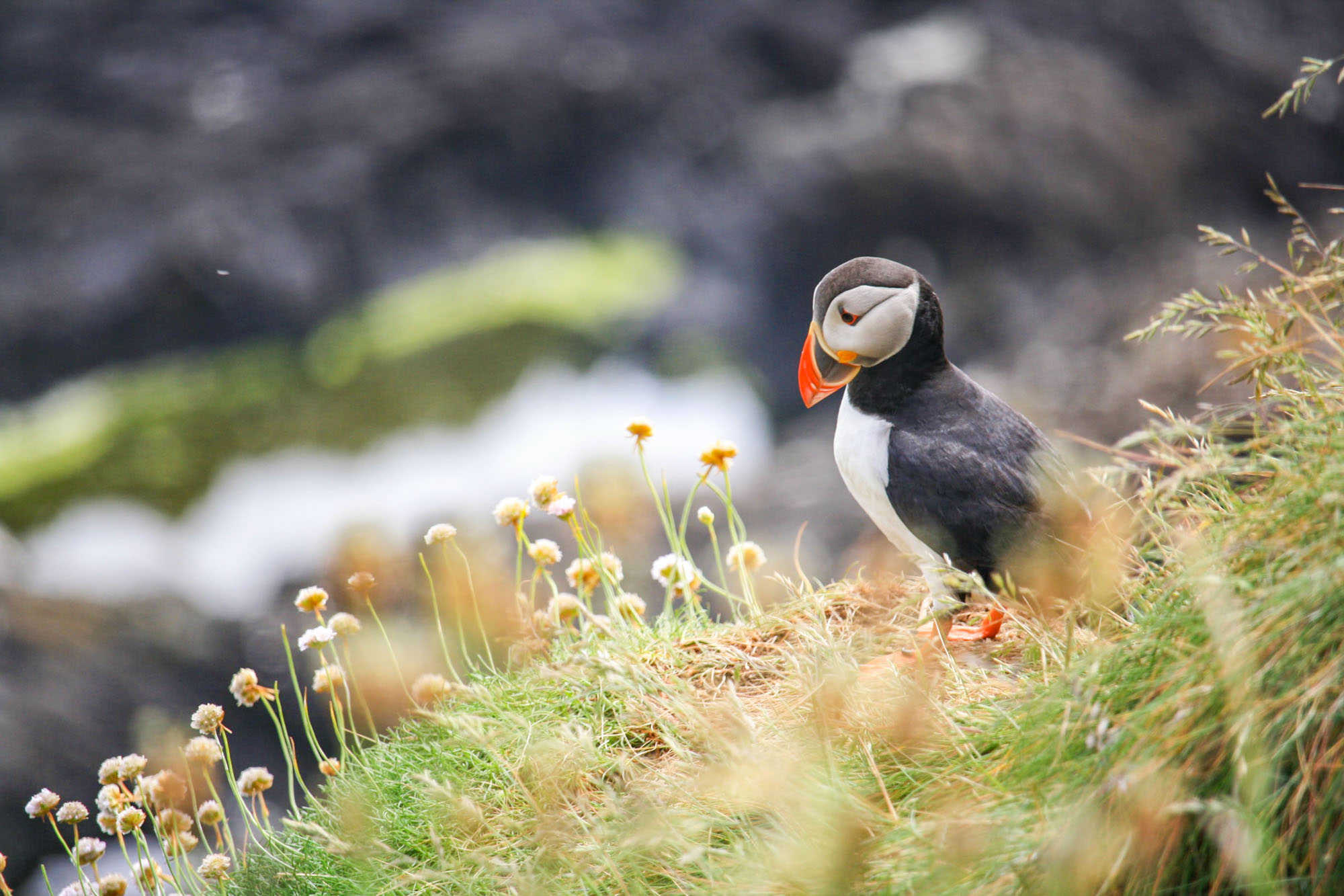 Puffin Shiant Islands