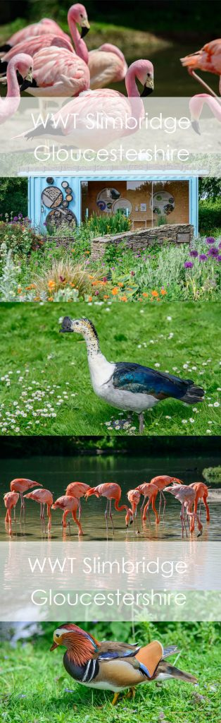 Days out with kids in England. Gloucestershire WWT Slimbridge. Wetlands centre.