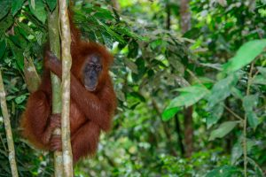 Everything you need to know about Bukit Lawang in Sumatra
