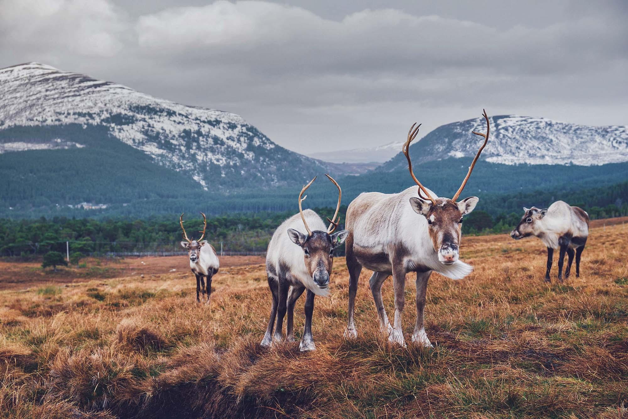 Reindeer Centre Cairngorns