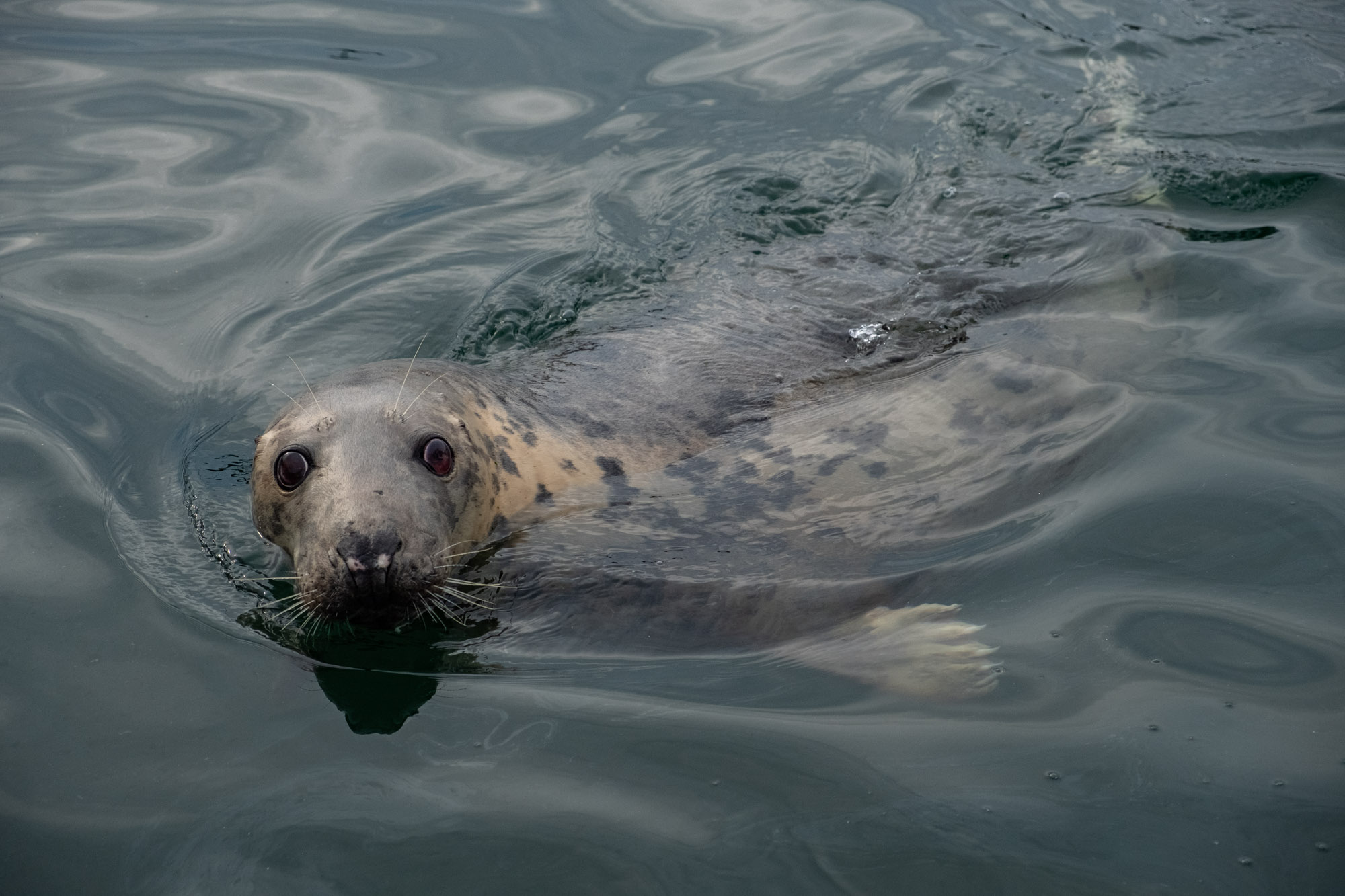 seals in Mallaig