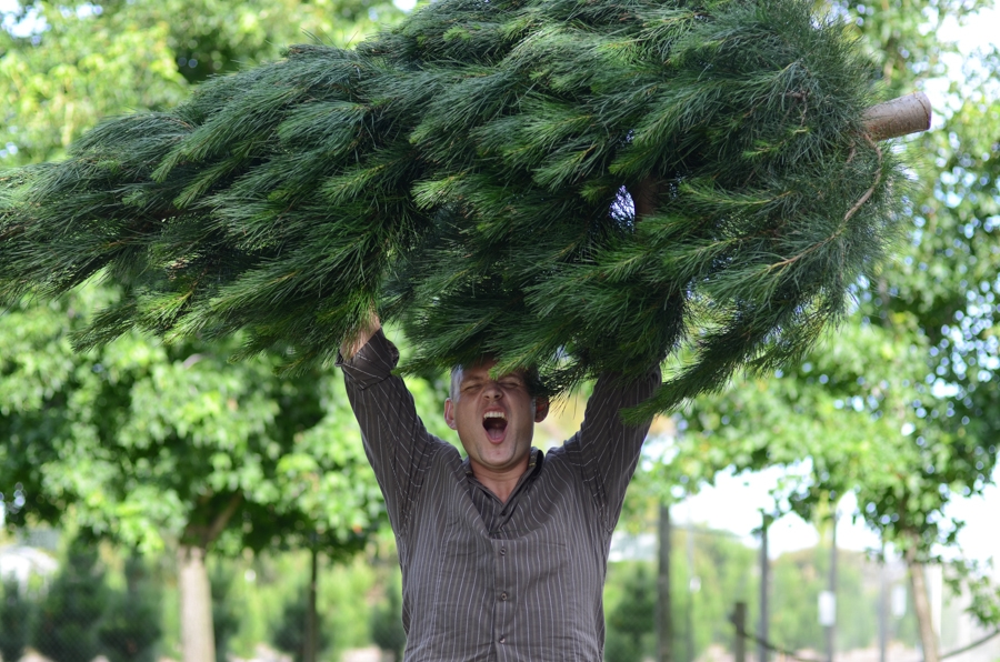 How to cut down a Christmas Tree in Australia